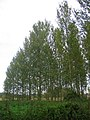 Stand of Poplars - geograph.org.uk - 570720.jpg