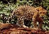 Standing jaguar.jpg