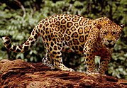 Standing jaguar