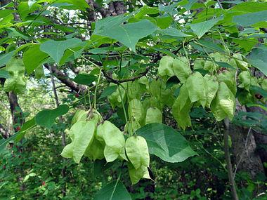 Staphylea trifolia SCA-3488.jpg