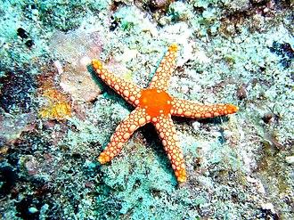 Fromia monilis - Image: Starfish, Mauritius