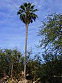 Starr-010914-0064-Washingtonia robusta-tall tree-Lahaina-Maui (24433882032).jpg
