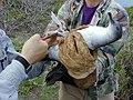 Starr-011111-0002-Sida fallax-wedgetailed shearwater banding-Kapalua-Maui (24435116902).jpg