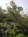 Starr-040131-0102-Charpentiera obovata-habit-Auwahi-Maui (24671472626).jpg