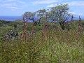 Starr-040324-0022-Amaranthus hybridus-habit-Puu o Kali-Maui (24582111412).jpg