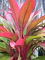 Starr-060916-8971-Cordyline fruticosa-red and green leaves-Makawao-Maui (24771994121).jpg