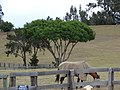 Starr-060928-0506-Jacaranda mimosifolia-habit and horse-Makawao Veterinary Clinic-Maui (24499020209).jpg