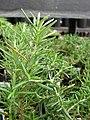 Starr-080117-1553-Rosmarinus officinalis-habit-Walmart Kahului-Maui (24604707700).jpg