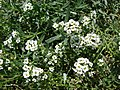 Starr-080531-4817-Lobularia maritima-flowers-Bravo barracks Sand Island-Midway Atoll (24817437271).jpg