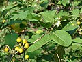 Starr-080601-5127-Solanum torvum-flowers leaves and fruit-Community garden Sand Island-Midway Atoll (24283298884).jpg