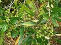 Starr-090421-6209-Olea europaea subsp cuspidata-fruit and leaves-Pukalani-Maui (24584684079).jpg