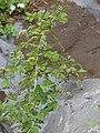 Starr-090430-6639-Rubus niveus-form a habit-Kula-Maui (24926772396).jpg