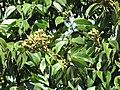 Starr-090720-3199-Hymenaea courbaril-flower buds and leaves-West Main Wailuku-Maui (24674875670).jpg