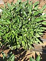 Starr-091023-8512-Solanum muricatum-fruit and leaves-Kula Experiment Station-Maui (24960462836).jpg