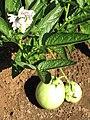 Starr-091023-8524-Solanum muricatum-flowers fruit and leaves-Kula Experiment Station-Maui (24691288910).jpg