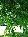 Starr-091104-0862-Pithecellobium alexandri-flowers and leaves-Kahanu Gardens NTBG Kaeleku Hana-Maui (24360872173).jpg