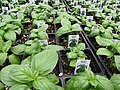 Starr-100623-7801-Ocimum basilicum-potted plants in greenhouse-Pukalani Plant Company Pulehu-Maui (24746810490).jpg