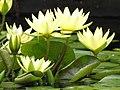 Starr-100803-8462-Nymphaea sp-yellow flowering habit-Enchanting Floral Gardens of Kula-Maui (25019393746).jpg