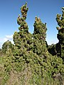 Starr-110331-4347-Juniperus chinensis-Kaizuka habit-Shibuya Farm Kula-Maui (25081618835).jpg