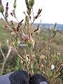 Starr-110601-5991-Lactuca sativa-flowers and seedheads-Kula-Maui (24728830399).jpg