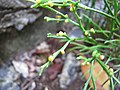 Starr-120229-3148-Psilotum nudum-sporangia-Waikapu Valley-Maui (25018368192).jpg