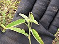Starr-130319-2828-Sida rhombifolia-leaves-Rock Quarry Beach Mokolea Pt Kilauea Pt NWR-Kauai (25089961072).jpg