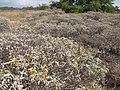 Starr-130422-4270-Encelia farinosa-flowering habit filling area-Kahului-Maui (24583627313).jpg