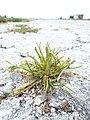 Starr-150402-0682-Poa annua-habit on abandoned runway-Northeast Eastern Island-Midway Atoll (25180577481).jpg