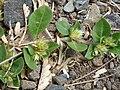 Starr-160324-0632-Alternanthera pungens-seeding habit-Kihei-Maui (26956029305).jpg