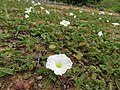 Starr-180810-5093-Ipomoea imperati-flowers-Maui Nui Botanical Garden Kahului-Maui (44704685981).jpg