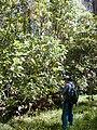 Starr 020501-0048 Cinchona pubescens.jpg