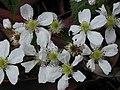 Starr 030405-0135 Rubus argutus.jpg