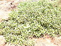 Starr 030525-0008 Myoporum sandwicense.jpg