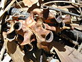 Starr 031013-0031 Acacia auriculiformis.jpg