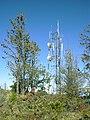 Starr 040214-0097 Pinus patula.jpg