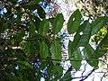 Starr 050130-3325 Flindersia brayleyana.jpg