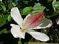 Starr 060815-8584 Hibiscus waimeae.jpg