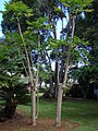 Starr 061231-3023 Carica papaya.jpg
