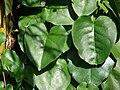 Starr 070403-6352 Anredera cordifolia.jpg