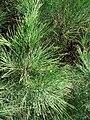 Starr 071024-9906 Casuarina equisetifolia.jpg