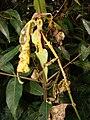 Starr 080326-3715 Syzygium jambos.jpg