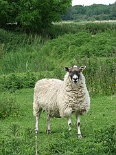 Startled sheep - geograph.org.uk - 822001.jpg