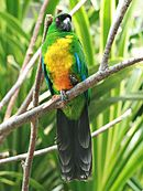 A green parrot with a yellow underside, blue-tipped wings, and a black face and tail