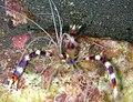 Stenopus hispidus - Banded Boxer Shrimp (234708974).jpg