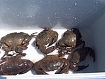 Stone crabs in cooler.jpg
