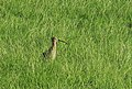 Storspov Eurasian Curlew (14288618667).jpg