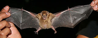 <i>Sturnira</i> genus of mammals