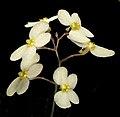 Stylidium acuminatum subsp. meridionale - Flickr - Kevin Thiele.jpg