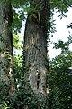 Styphnolobium japonicum bark UW.JPG
