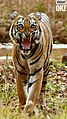 Sub adult tiger.jpg